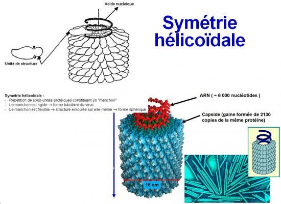 Anatomie fonctionnelle et antigènes viraux 3