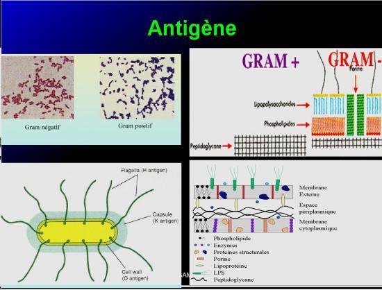 Antigènes 2