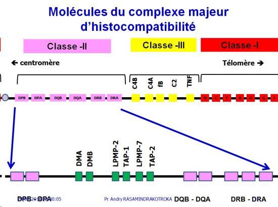 Apprêtement - processing antigène (11)