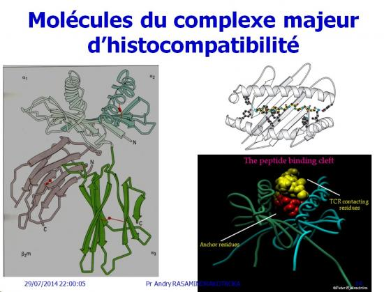 Apprêtement - processing antigène (14)