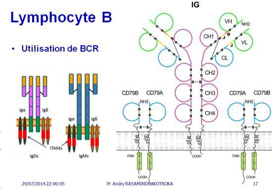 Apprêtement - processing antigène (17)