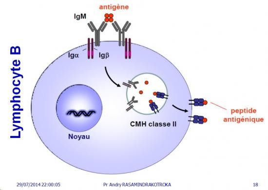 Apprêtement - processing antigène (18)