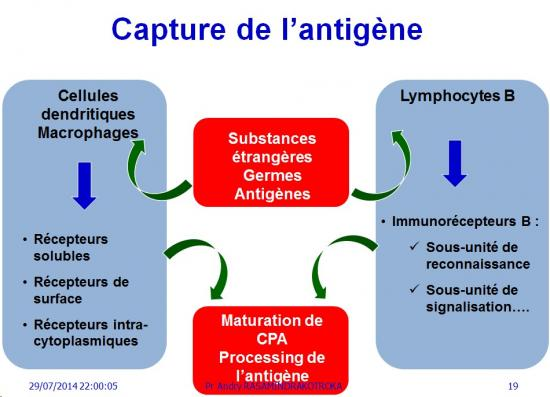 Apprêtement - processing antigène (19)