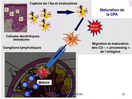 Apprêtement - processing antigène (20)