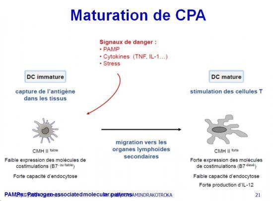 Apprêtement - processing antigène (21)