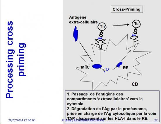 Apprêtement - processing antigène (27)