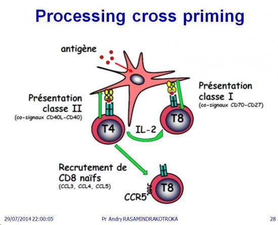 Apprêtement - processing antigène (28)