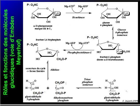 Biomolécules glucidiques 56