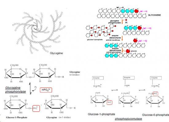 Catabolisme du glycogène