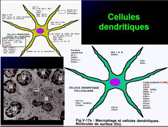 Cellules de l'immunité 22