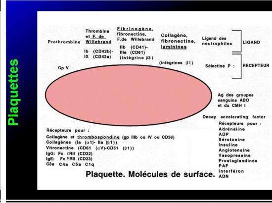 Cellules de l'immunité 27
