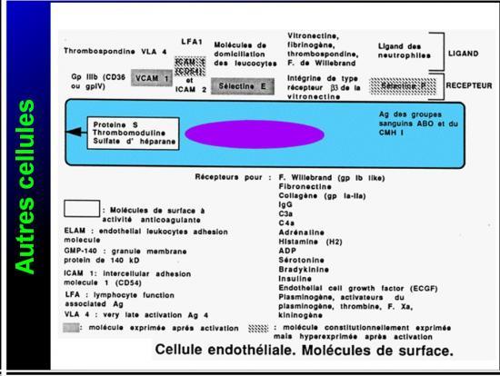 Cellules de l'immunité 29