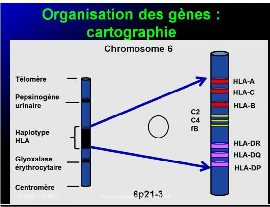Complexe majeur d'histocompatibilité humain 10
