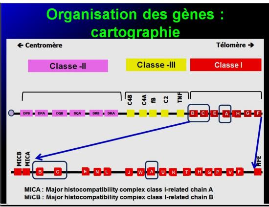 Complexe majeur d'histocompatibilité humain 13