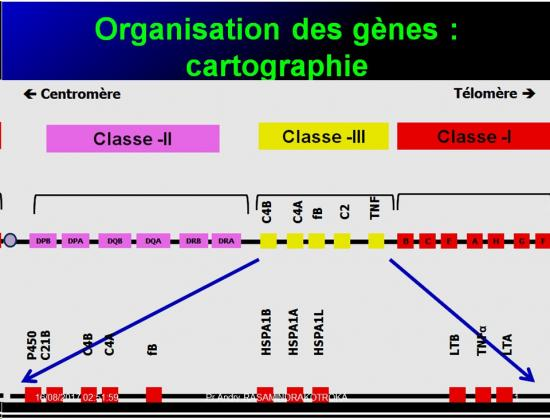 Complexe majeur d'histocompatibilité humain 14