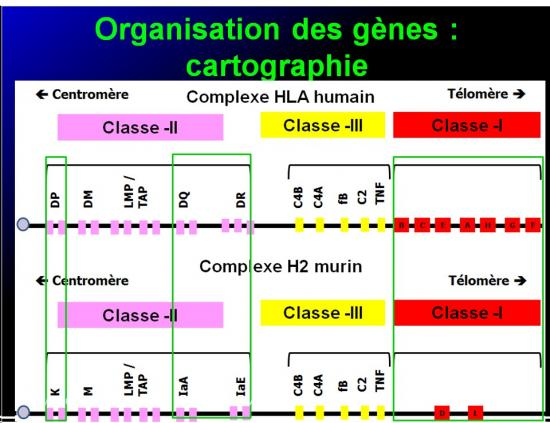 Complexe majeur d'histocompatibilité humain 15