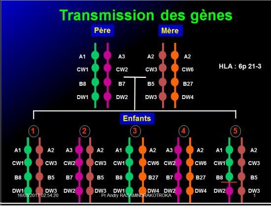 Complexe majeur d'histocompatibilité humain 17
