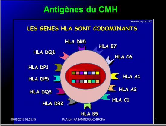 Complexe majeur d'histocompatibilité humain 19