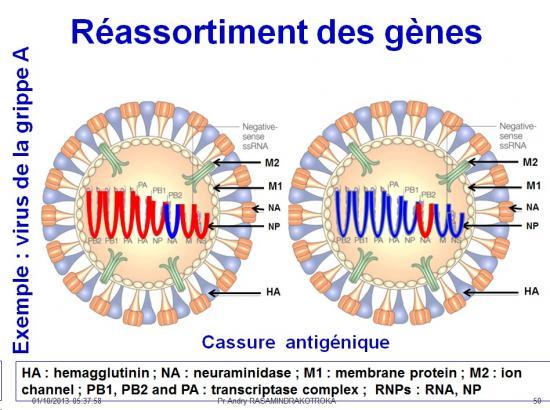 Génétique virale 11