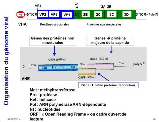 Génétique virale 2