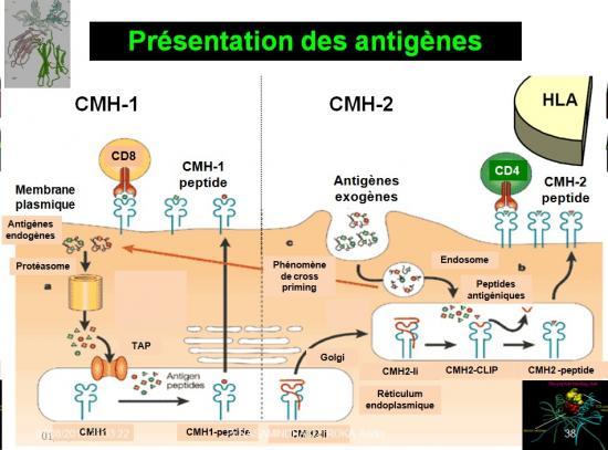 Images sélectionnées immunité antitumorale4