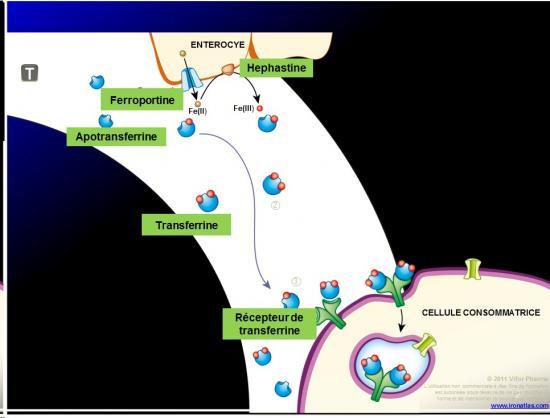 Images sélectionnées médicaments antianémiques7
