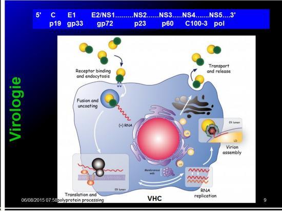 Images sélectionnées virus des hépatites15