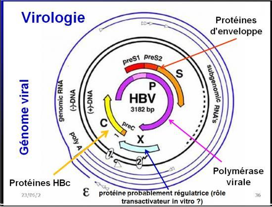 Images sélectionnées virus des hépatites6