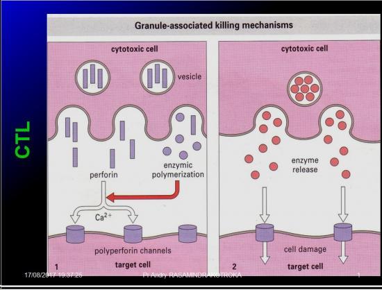 Immunité adaptative 22