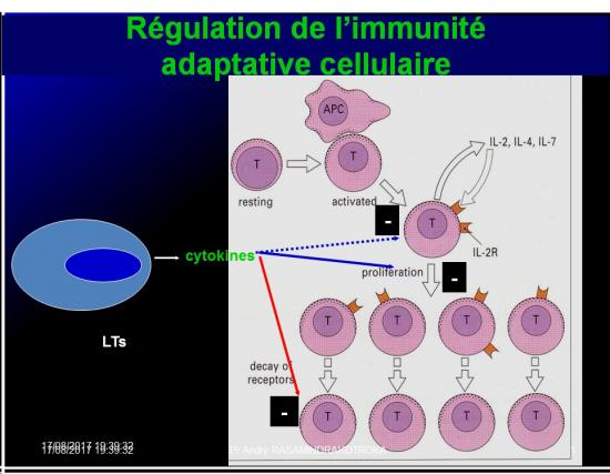 Immunité adaptative 24