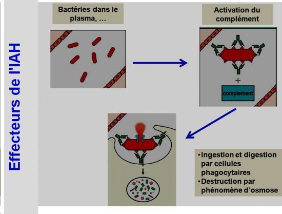 Immunité adaptative humorale 11