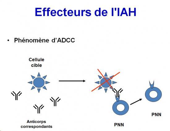Immunité adaptative humorale 12