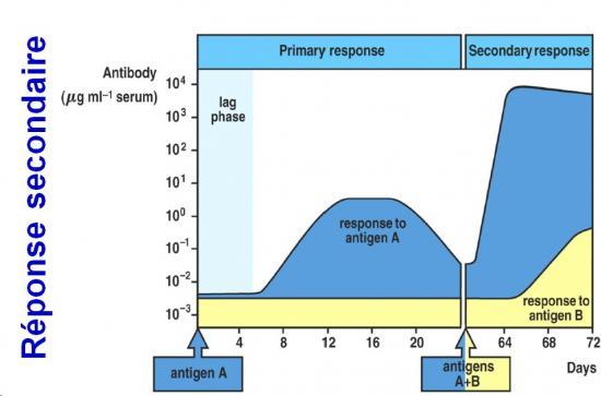 Immunité adaptative humorale 16