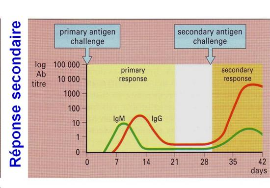 Immunité adaptative humorale 17
