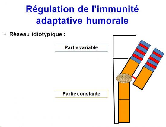 Immunité adaptative humorale 19