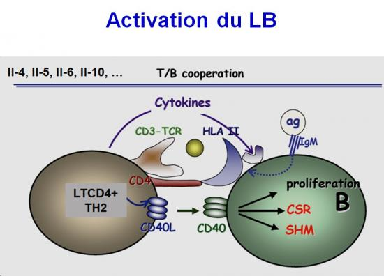Immunité adaptative humorale 2
