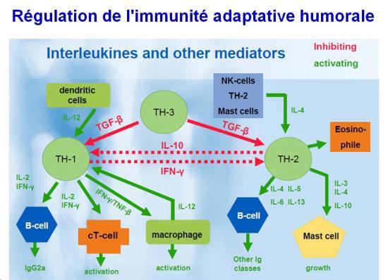 Immunité adaptative humorale 23