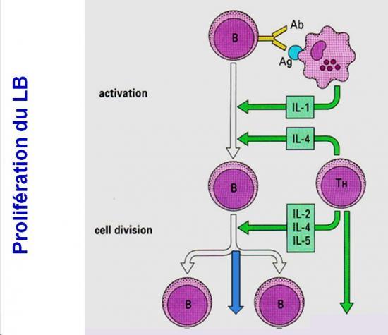 Immunité adaptative humorale 3
