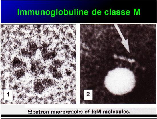 Immunoglobulines 16
