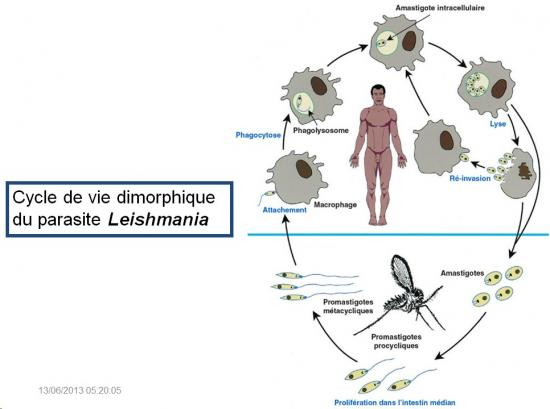 Leishmania et leishmaniose 4