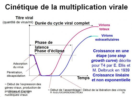 Multplication virale dans la cellule 13