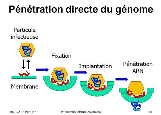 Multplication virale dans la cellule 5