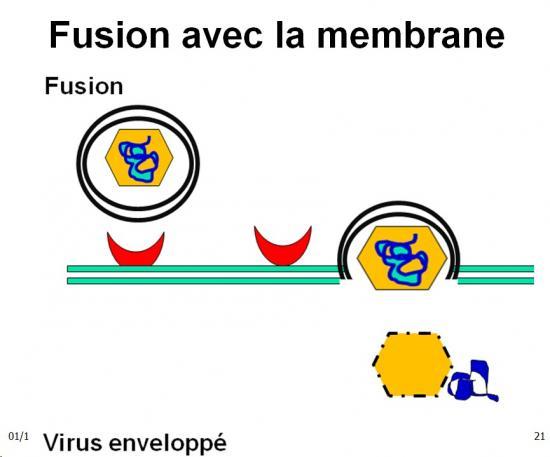 Multplication virale dans la cellule 6