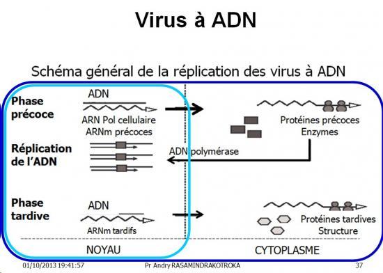 Multplication virale dans la cellule 8