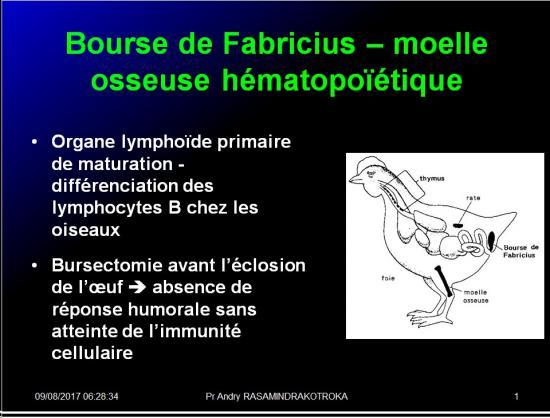 Organes de l'immunité 10
