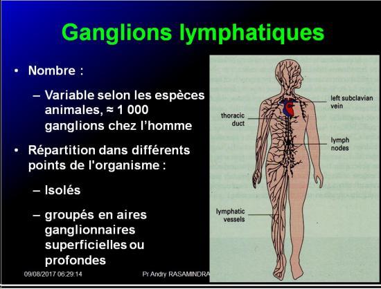 Organes de l'immunité 11