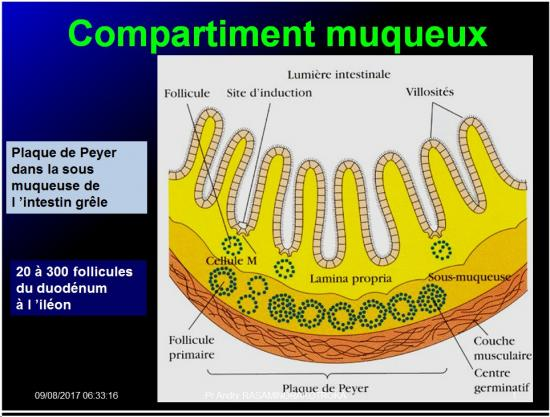 Organes de l'immunité 15