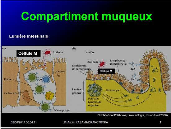 Organes de l'immunité 16