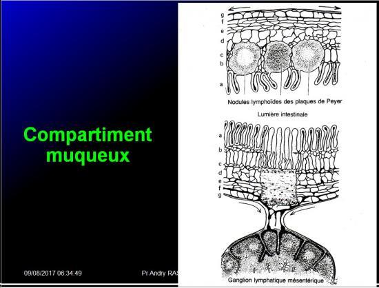 Organes de l'immunité 17