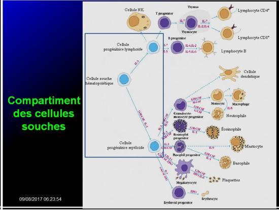 Organes de l'immunité 4